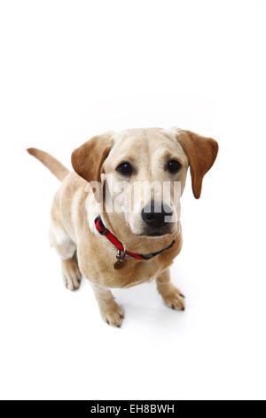 Gelben Labrador Retriever Welpen im Alter von 8 Monaten saß nachschlagen, Fotograf in weisse studio - Stockfoto