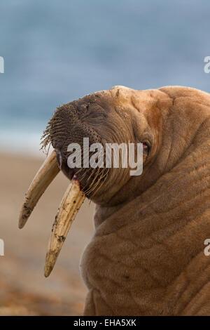 Walross (Odobenus Rosmarus) Nahaufnahme Portrait von Bull mit großen Stoßzähnen - Stockfoto