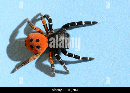 marienk fer spinne eresus niger eresus cinnaberinus weiblich stockfoto bild 48889879 alamy. Black Bedroom Furniture Sets. Home Design Ideas