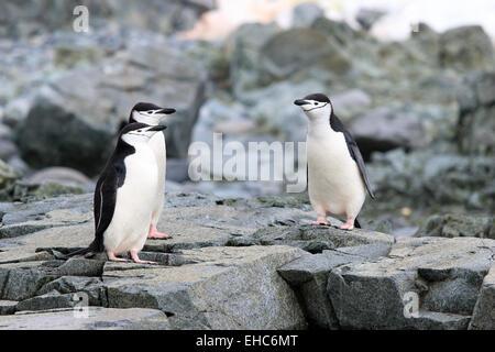 Pinguine, Pinguin, Antarktis, Antarktis. Pinguine Zügelpinguinen (Pygoscelis Antarctica) - Stockfoto