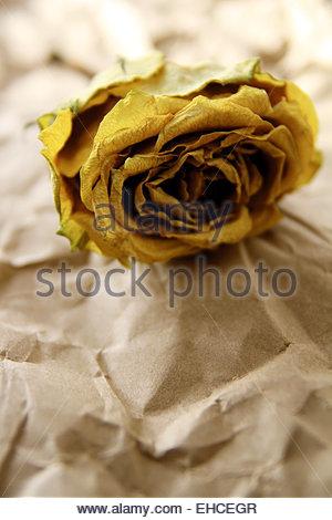 Welke Rose - Stockfoto