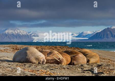 Gruppe von Walrosse (Odobenus Rosmarus) Ruhe am Strand entlang der Küste des arktischen Ozeans, Spitzbergen, Norwegen - Stockfoto