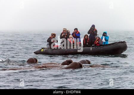 Touristen in aufblasbaren Boot beobachten und zu fotografieren Gruppe von Walrosse (Odobenus Rosmarus) Schwimmen - Stockfoto