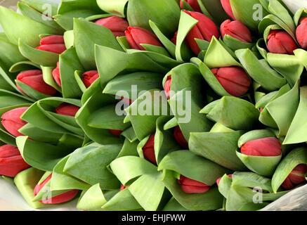 Rosenstrauss rote Tulpe Knospen in den grünen Blättern - Stockfoto