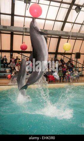 Rostow am Don, Russland - 1. Februar 2015: Delfine kick hängenden Kugeln, das Publikum zu bewundern, was er sah in der Rostov-dolphinariu