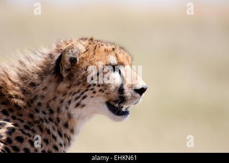 Geparden in der Masai Mara, Kenia - Stockfoto