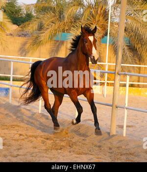 Ein Warmblut Pferd galoppieren um eine Menage in Bahrain bei Sonnenuntergang - Stockfoto