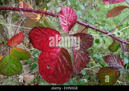 Roten Brombeere, Rubus Fruticosus, Blätter drehen Farbe im Herbst, Oktober - Stockfoto