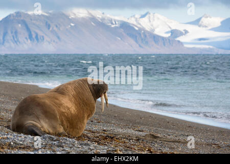 Walross Odobenus Rosmarus Erwachsene Ruhe Strand Poolepynten Prins Karls Forland Svalbard - Stockfoto