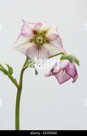 fastenzeit rose helleborus orientalis hybriden nina emsland niedersachsen deutschland. Black Bedroom Furniture Sets. Home Design Ideas