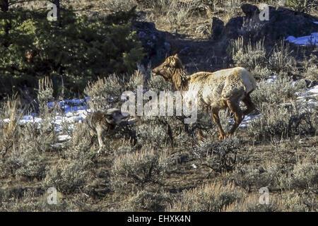 10. März 2015 - Alpha männliche 712 M des Canyons Verpacken Angriffe ...