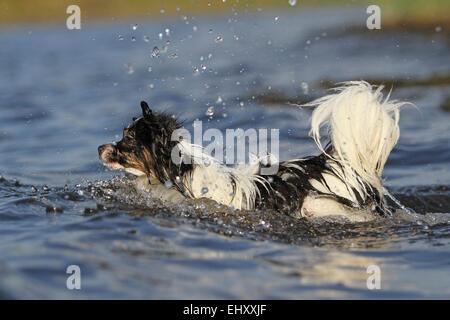 Papillon Continental Toy Spaniel Erwachsener Hund laufen ins Wasser Deutschland - Stockfoto