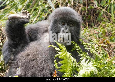 Mountain Gorilla, Kuryama Gruppe, Ruanda - Stockfoto