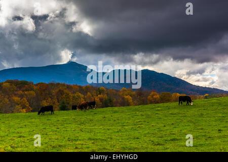 Kühe in einem Feld-Hof und Blick auf Grandfather Mountain entlang des Blue Ridge Parkway in Moses Kegel Park in - Stockfoto