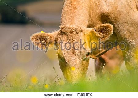 Kuh Weiden im ländlichen Bereich - Stockfoto