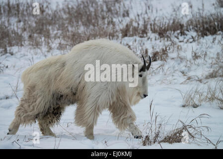 Bergziege, weiß, Schnee, Winter, Oreamnos Americanus, Tier, Yukon, Kanada - Stockfoto