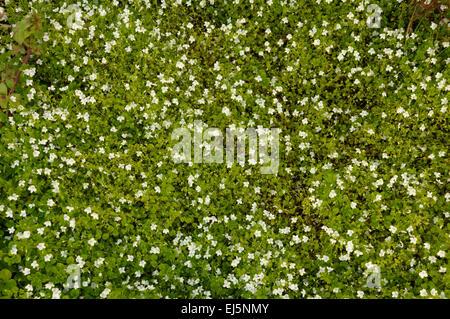 Blumen Hintergrund. Viele kleine weiße Blumen wachsen auf Boden ...