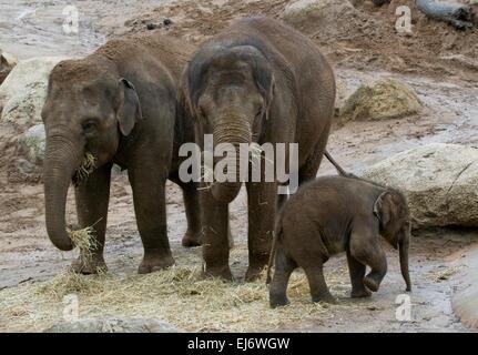 """""""Mali"""" neun Monate alten Baby asiatische Elefantendame Show mit Mutter """"Dokkoon"""" (L) und Aunti 'Num Oi' (R) im Zoo - Stockfoto"""