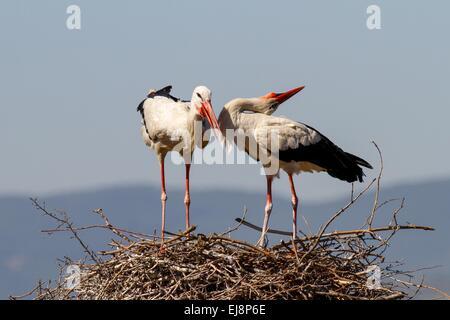 Ein paar der Störche auf dem Nest stehend - Stockfoto