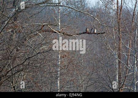 Ein paar rote – Tailed Falken sitzen thront auf einem Ast in einem Wald. - Stockfoto