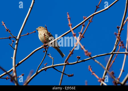 Ein Spatz sitzt auf einem Ast thront ein oben auf einem Baum, der im Frühjahr mit einem blauen Himmel im Hintergrund - Stockfoto