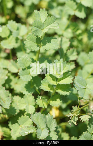 Salat burnet - Stockfoto