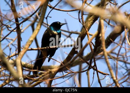 Ein Grackle sitzt auf einem Ast im zeitigen Frühjahr thront. - Stockfoto