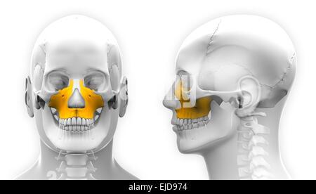 Oberkiefer Knochen Stockfoto, Bild: 54562476 - Alamy
