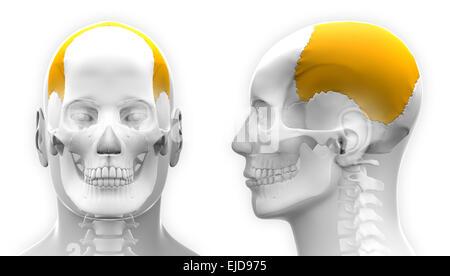 Parietal Knochen - Schädel Stockfoto, Bild: 73342207 - Alamy