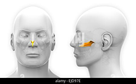 Männliche Schädel Anatomie / Schädel Stockfoto, Bild: 75618820 - Alamy