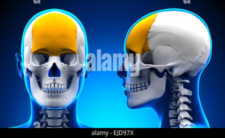 Stirnbein - Schädel Stockfoto, Bild: 73380774 - Alamy
