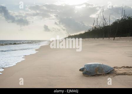 Grüne Schildkröte Rückkehr zum Meer nach nisten am Strand, Chelonia Mydas, Matapica, Surinam - Stockfoto