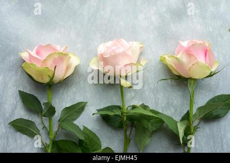 Rosa und Grün schneiden Rosen in Stillleben Anordnung - Stockfoto