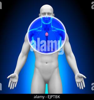 Medizinische Röntgen-Scan - Thymus - Stockfoto