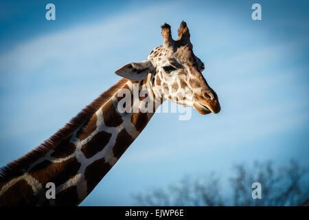 Ein Porträt einer Giraffe isoliert auf blauem Grund. - Stockfoto