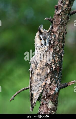 Lange eared Eule. (Asio Otus). versteckt im Baum. - Stockfoto