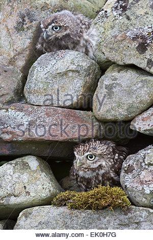 Kleine Eule mit Küken (Athene Noctua), Gefangenschaft, UK - Stockfoto