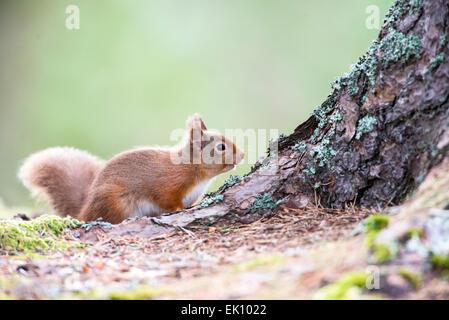 Eichhörnchen (Sciurus Vulgaris) fotografiert in einem Pinienwald in der Cairngorms, Schottland. - Stockfoto