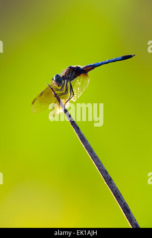 Dasher Dragonfly Blue - Green Cay Feuchtgebiete - Boynton Beach, Florida USA - Stockfoto