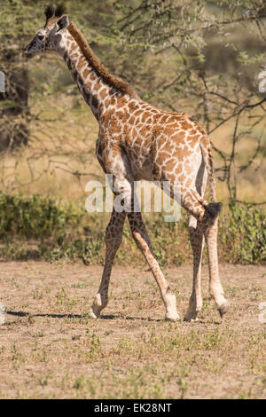 Junge Giraffe im Galopp, Ngorongoro Conservation Area, Tansania - Stockfoto