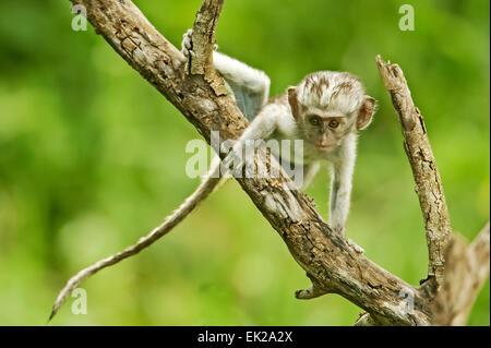 Vervet Affen Baby Kletterbaum suchen sehr neugierig, in Ngorongoro Crater, Tansania, Afrika - Stockfoto