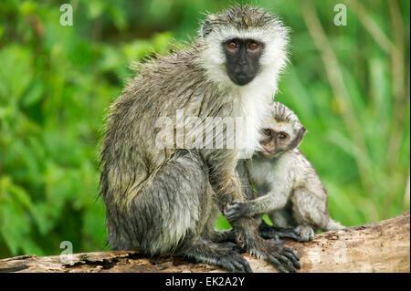 Baby Vervet Affen Pflege von seiner Mutter in Ngorongoro Crater, Tansania, Afrika - Stockfoto