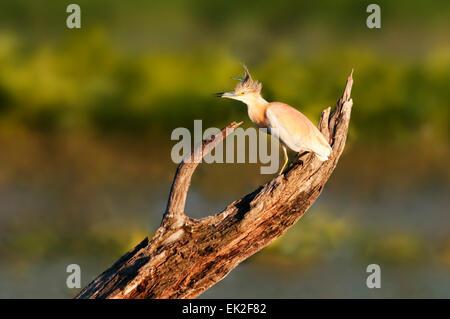 Ein Rallenreiher auf einem Baumstamm in einem Sumpf - Stockfoto