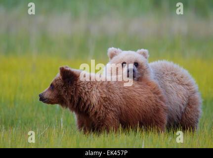 Braun / Grizzly Bear Lake-Clark-Nationalpark, Alaska - Stockfoto