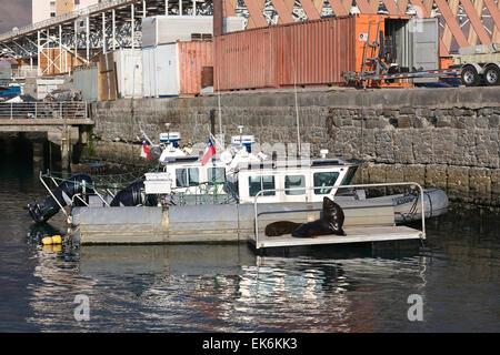 IQUIQUE, CHILE - 22. Januar 2015: Zwei Seelöwen am kleinen Steg im Hafen von Iquique liegen - Stockfoto