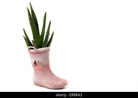 Kaktus in der alten Regen Stiefel Schuh, Recycling, isoliert auf weißem Hintergrund - Stockfoto