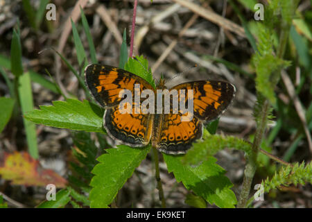 Northern Crescent Schmetterling thront auf einer Pflanze in Wisconsin. - Stockfoto