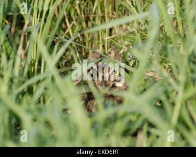 Sumpfohreule im Nest auf der Wiese - Stockfoto