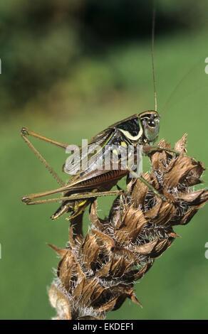 Rösel von Bush-Cricket - Metrioptera roeselii - Stockfoto