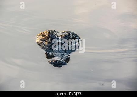 Unheimliche Kopf ein Yacare Caiman, Caiman Crocodilus Yacare, in einem Fluss im Pantanal, Mato Grosso, Brasilien, - Stockfoto